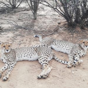 Cheetahs, baboons and conservation: A Namibian adventure